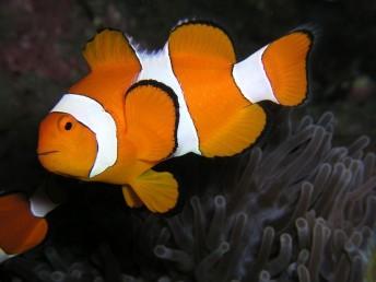 Klaun očkatý neboli Nemo z filmu Hledá se Nemo zvedl zájem o akvaristiku, zdroj: wikipedia.org